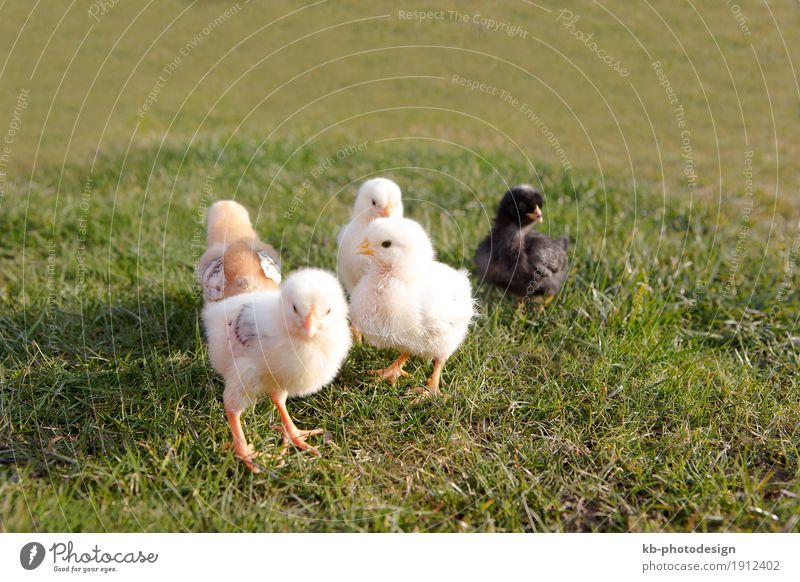 Young chicken on a meadow outdoor Farm animal Gamefowl Duck Group of animals Baby animal Yellow ducks easter farm farm animals farming newborn black
