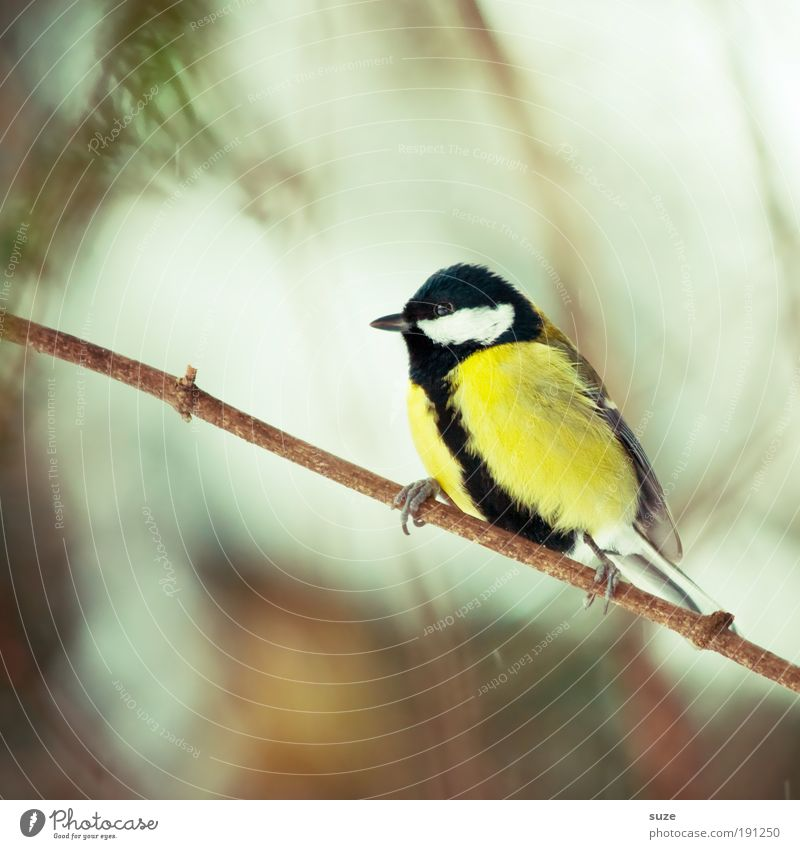 Nature Animal Yellow Spring Small Bird Sit Wild animal Wait Cute Feather Branch Twig Beak Environment Songbirds