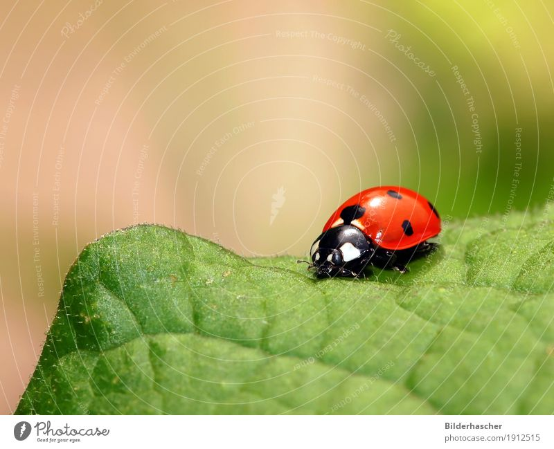 Nature Plant Summer Colour Green Red Leaf Joy Happy Copy Space Symbols and metaphors Insect Beetle Crawl Spotted Ladybird