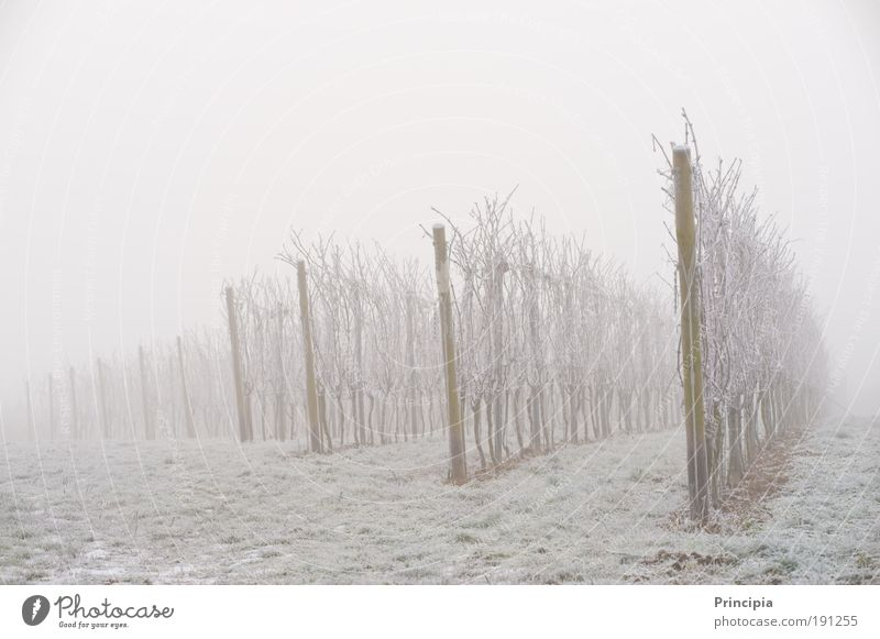 Vineyard in the morning fog Winter Environment Nature Landscape Ice Frost Plant Field Gray Romance Calm Grief Dream Fog Subdued colour Exterior shot Deserted