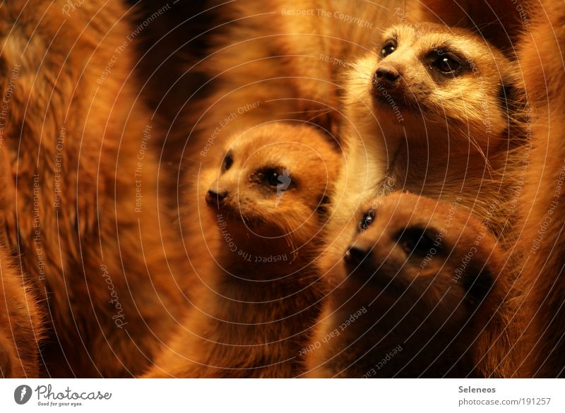 family meeting Brunette Animal Wild animal Animal face Zoo Petting zoo Meerkat Rodent desert animal Group of animals Baby animal Animal family Observe Discover