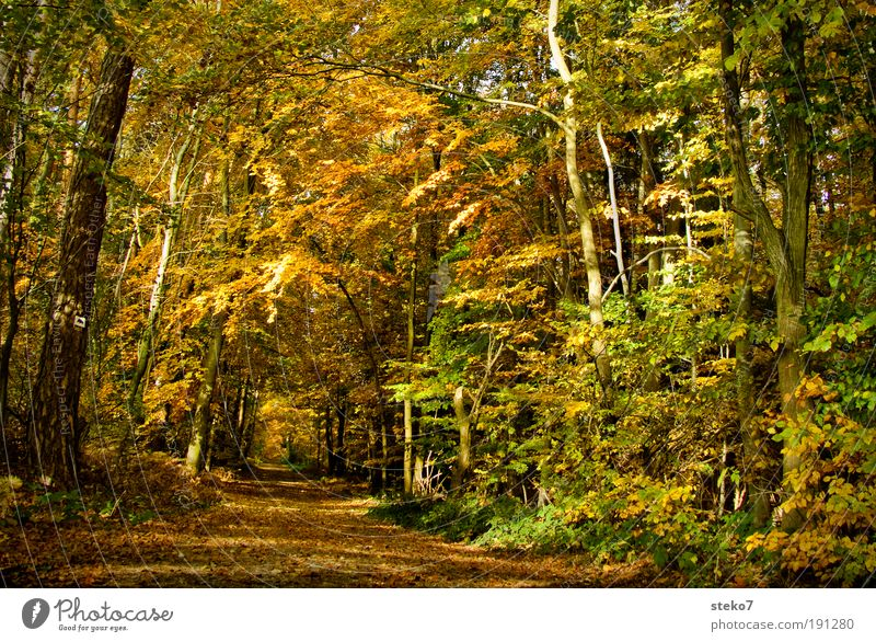 Away into autumn Autumn Beautiful weather Forest Relaxation Fragrance Clean Dry Brown Yellow Gold Esthetic Loneliness Idyll Lanes & trails Footpath Forest road