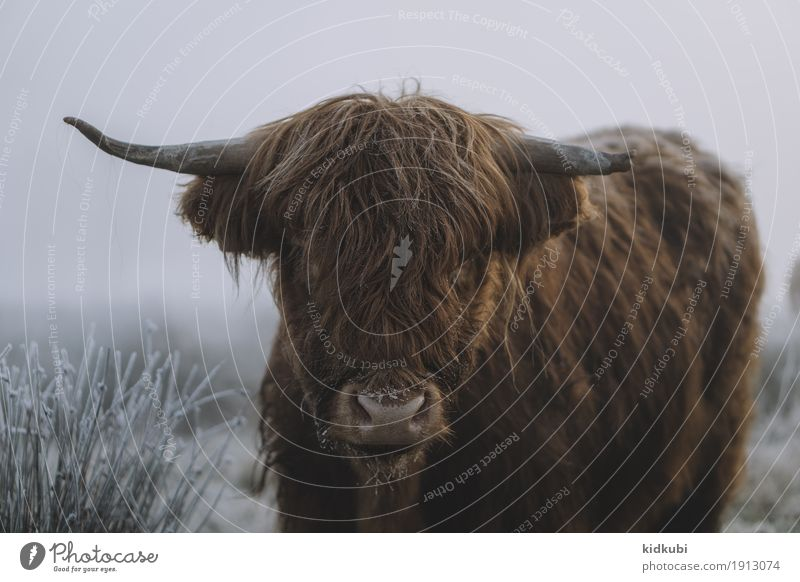 Scottish Highland Cattle Animal Cow Animal face Pelt 1 Freeze Looking Authentic Dark Large Cuddly Reliability Wild Blue Brown White Calm Cold Power