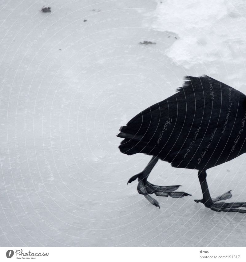 Black Cold Snow Sadness Ice Legs Bird Animal foot Walking Frost Feather Frozen Tails Smoothness Dreary