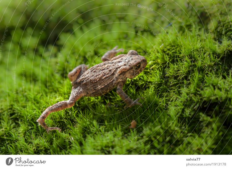 toad migration Environment Nature Plant Animal Earth Moss Leaf Foliage plant Forest Wild animal Frog Toad migration Painted frog Amphibian Frogs Crawl Hiking