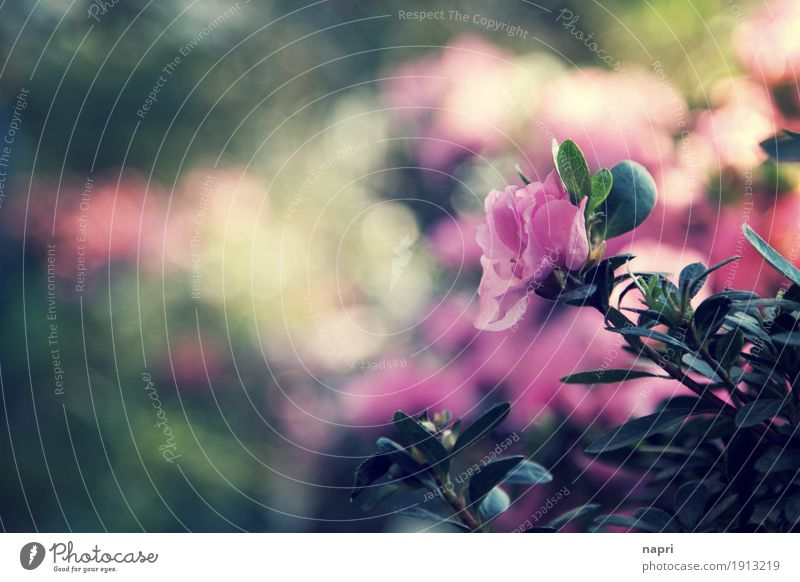 One like none Plant Leaf Blossom Foliage plant Rhododendrom Pink Idyll Nature Moody Blossoming Copy Space 1 Green Shallow depth of field Flowerbed Garden Botany