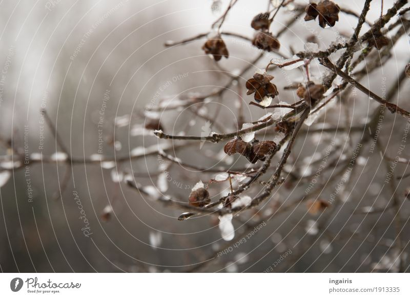 Icy Pfaffenhütchen Nature Plant Winter Ice Frost Bushes Common spindle Freeze Hang To dry up Glittering Cold Natural Gloomy Dry Belief Grief Religion and faith