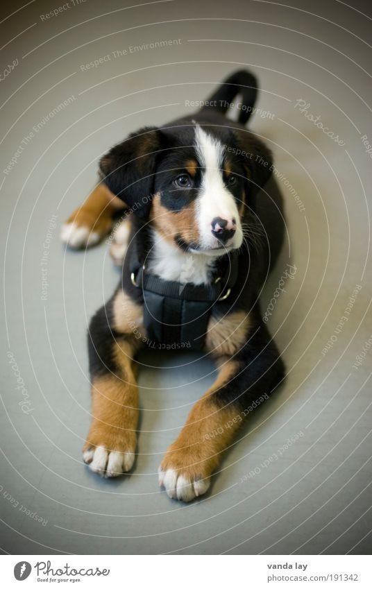 Dog Animal Baby animal Lie Cute Curiosity Friendliness Interior shot Deserted Watchfulness Pet Cuddly Timidity Puppy