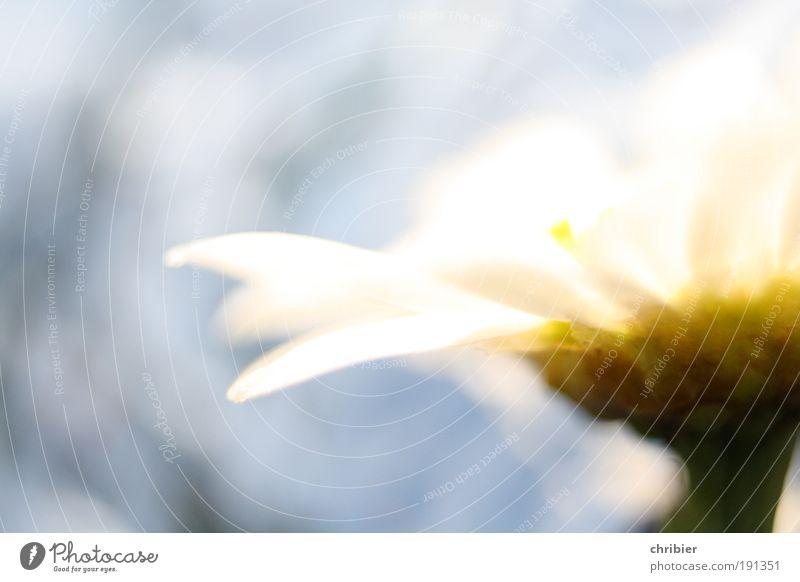 Nature Beautiful White Flower Blue Plant Calm Yellow Happy Bright Glittering Esthetic Romance Near Environment Blossoming