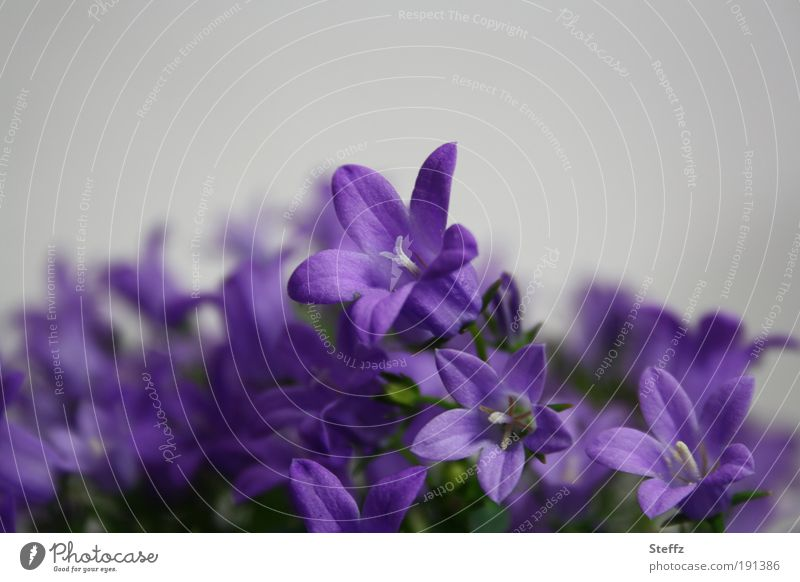 Conjure up spring Bluebell Spring flower Ornamental plant Flower Houseplant Violet Houseplants gray color Nature Plant Blossom leave Blossoming Gray purple