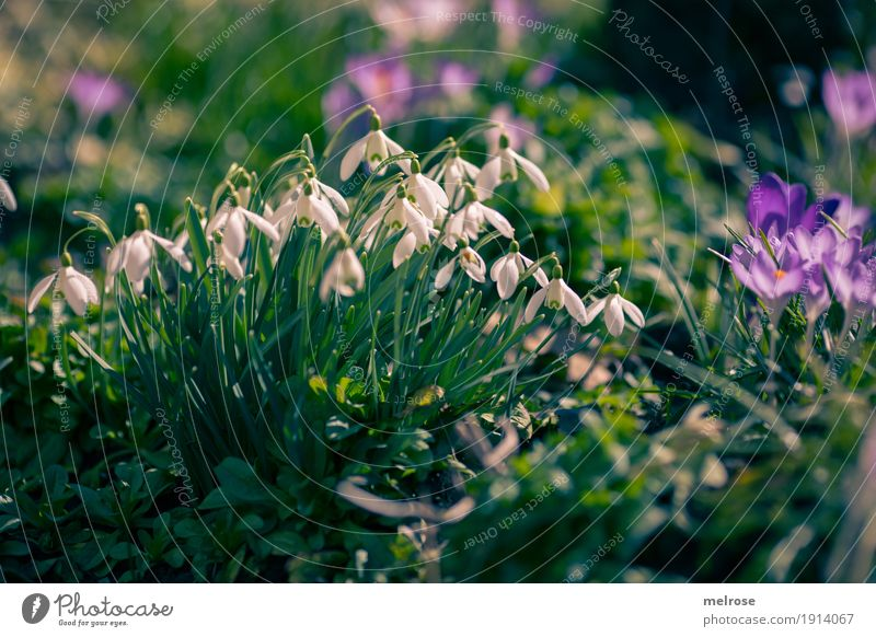 Snowdrops and crocuses Nature Plant Earth Sun Spring Climate Beautiful weather Flower Grass Blossom Wild plant Flowering plant Lily plants Amaryllis Crocus