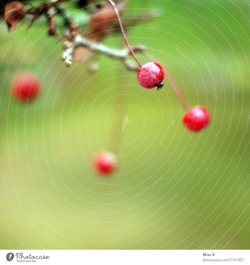 berry Food Fruit Environment Nature Summer Autumn Plant Tree Bushes Leaf Park Small Delicious Juicy Berries Branch Autumnal Colour photo Multicoloured