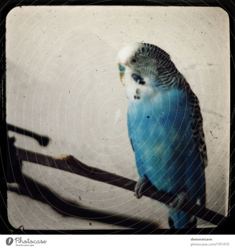 Battered Old Bird. Blue Animal Sit Masculine Feather Analog Frame Pet Parrots Camera tossing Budgerigar
