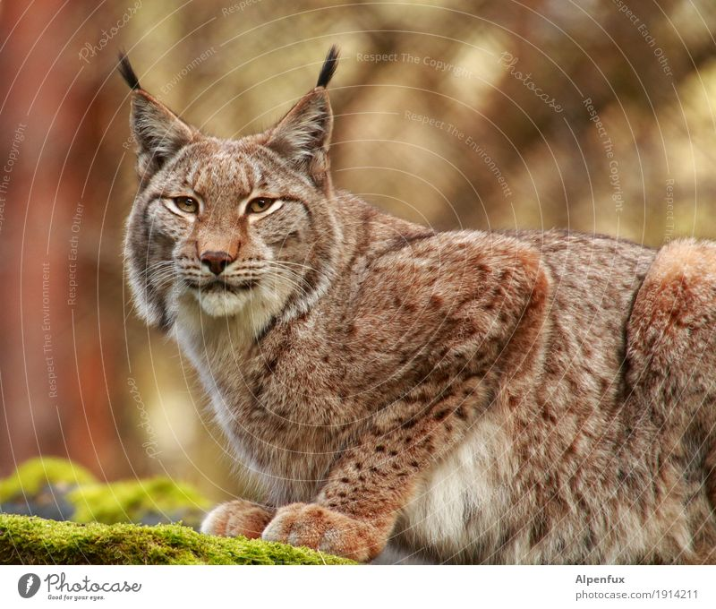 Lynx Lynx Animal face Pelt Claw Paw Zoo 1 Athletic Cuddly Power Determination Esthetic Elegant Serene Concentrate Pride Colour photo Exterior shot