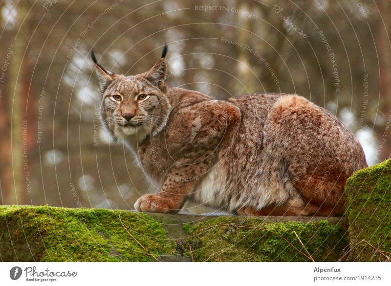 alpine luxurious Wild animal Animal face Pelt Claw Paw Lynx 1 Aggression Esthetic Athletic Elegant Cuddly Muscular Power Mysterious Serene Concentrate Calm