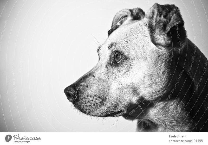 flash Animal Pet Dog Pelt 1 Observe Think Listening Looking Curiosity Cute Surprise Mistrust Black & white photo Interior shot Copy Space left