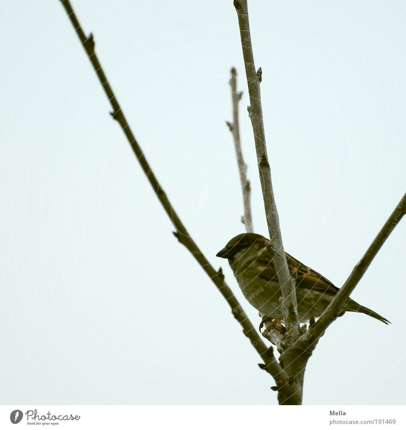 fork stool Environment Nature Plant Animal Winter Tree Branch Wild animal Bird Sparrow 1 Crouch Sit Dark Natural Cute Gloomy Freedom Junction Crutch