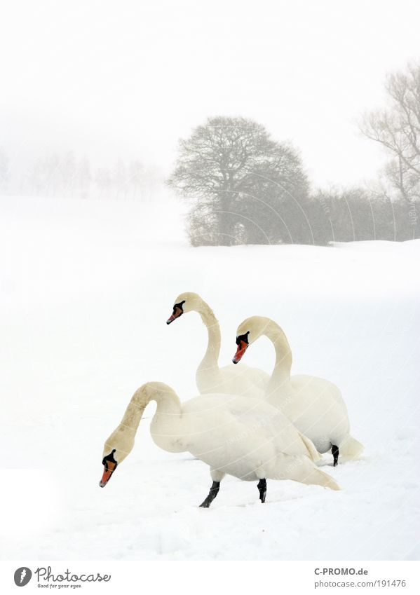winter swans Winter Weather Snow Tree Animal Wild animal Swan 3 Cold Colour photo Exterior shot Copy Space top Day Animal portrait
