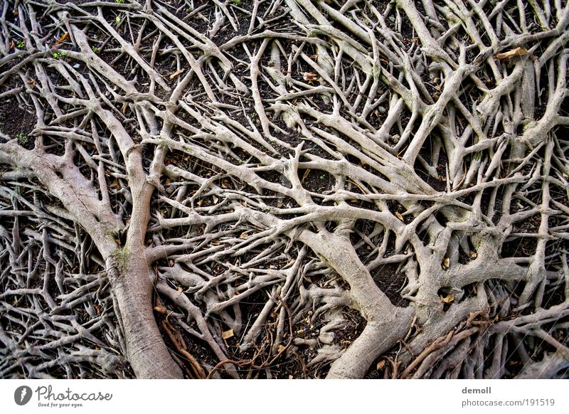 Roots on the ground Nature Tree Forest Wood Growth Root of a tree branching soil roots Subdued colour Exterior shot Detail Deserted Contrast Day