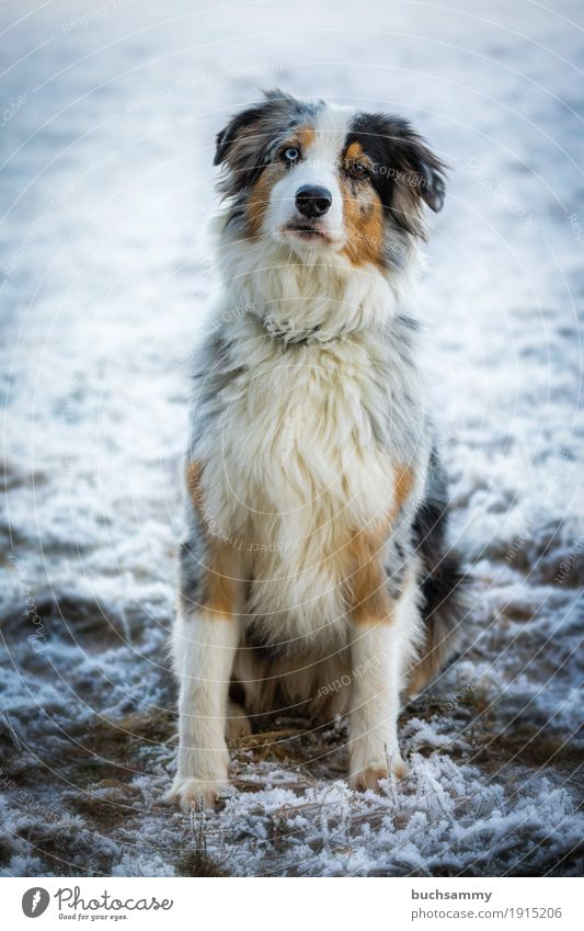 Australian Shepherd Winter Animal Long-haired Pet Dog 1 Sit Cold Blue Brown White Havanese Purebred dog Hoar frost Snow Mammal Copy Space Easygoing red merle