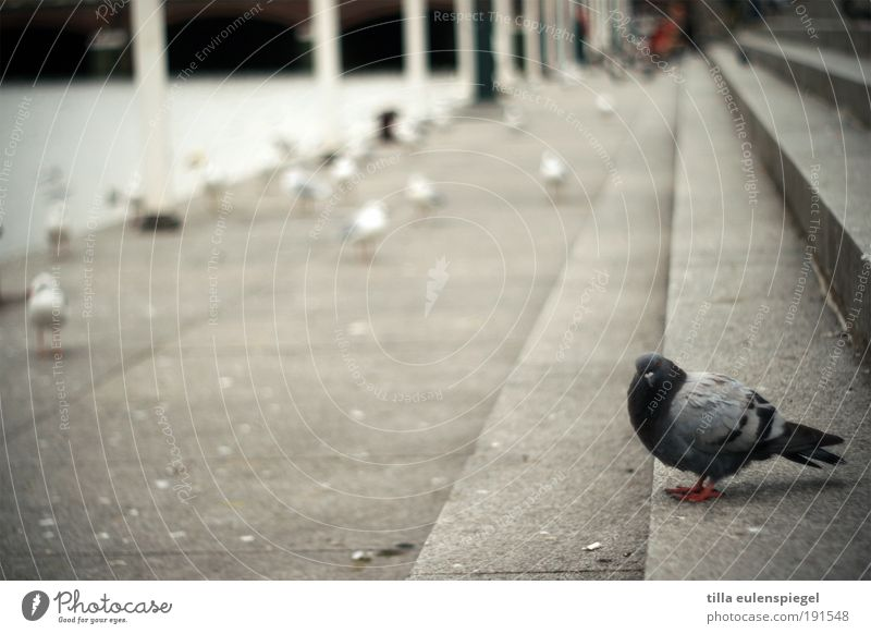 Animal Gray Bird Concrete Stairs Wild animal Gloomy Seagull Pigeon Stagnating Isolated (Position) Copy Space left Vanishing point Townsfolk Building line