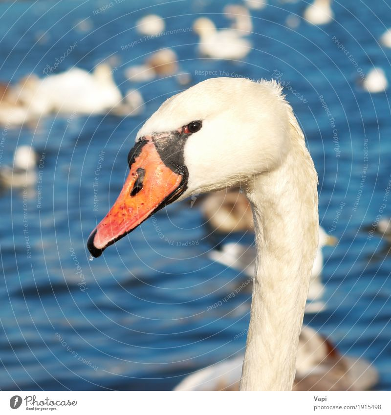 White swan Nature Animal Water Pond Lake River Wild animal Bird Swan 1 Love Cute Clean Blue Yellow Orange Red Black Emotions Romance Purity Peace Innocent head