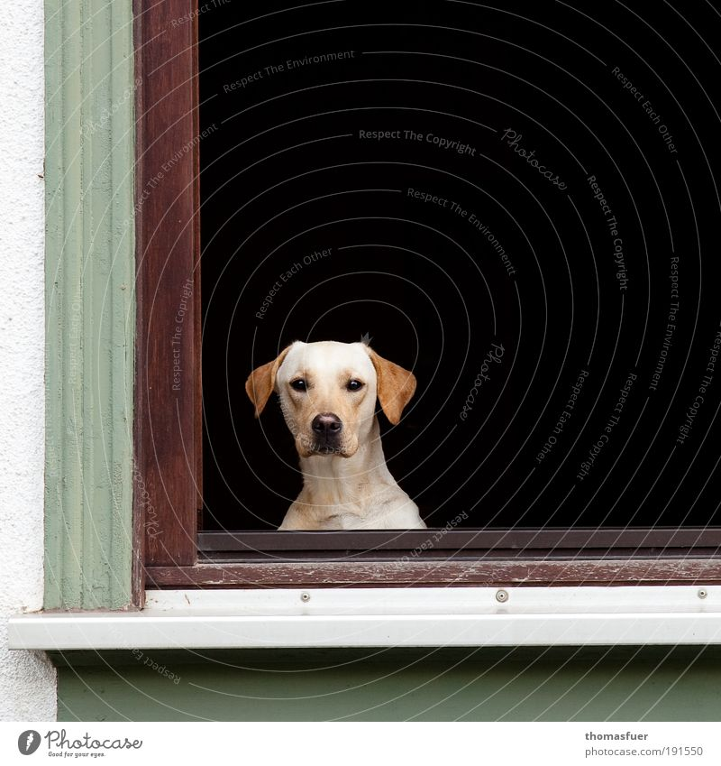 hypnosis Flat (apartment) Window Animal Pet Dog Animal face 1 Observe Sit Wait Living or residing Threat Curiosity Green Black White Protection Love of animals