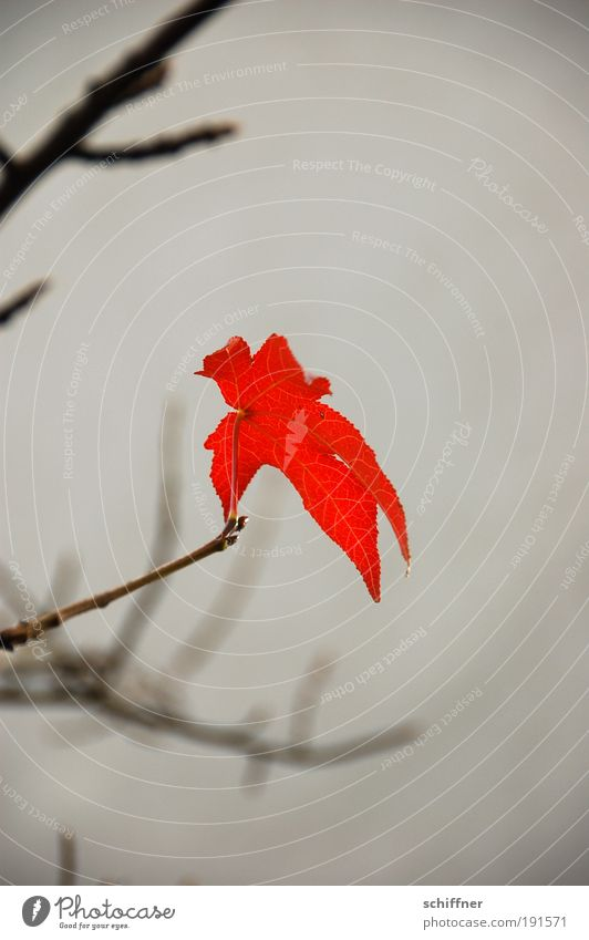 Last leaf standing Environment Nature Plant Autumn Climate Climate change Bad weather Leaf Hang Uniqueness Rebellious Gloomy Red Willpower Endurance Hope Belief