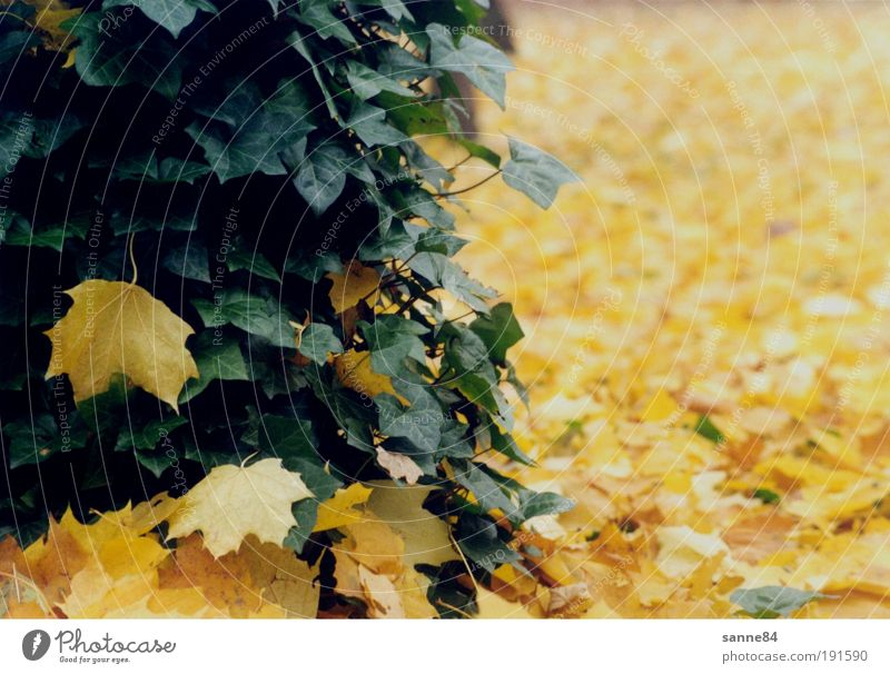 autumn Autumn Autumn leaves Nature Tree Leaf Park Contentment Calm Yellow Green Ivy Maple tree Colour photo Exterior shot Deserted Day