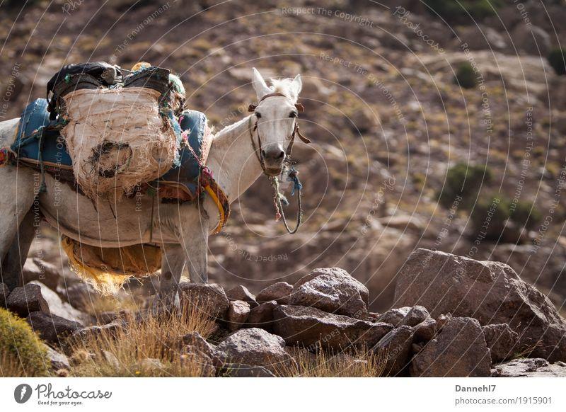 Load donkey? Healthy Athletic Hiking Mountaineering Donkey Mule Weight porter Luggage Luggage rack Help Stone Slope Sparse White White-haired Backpack