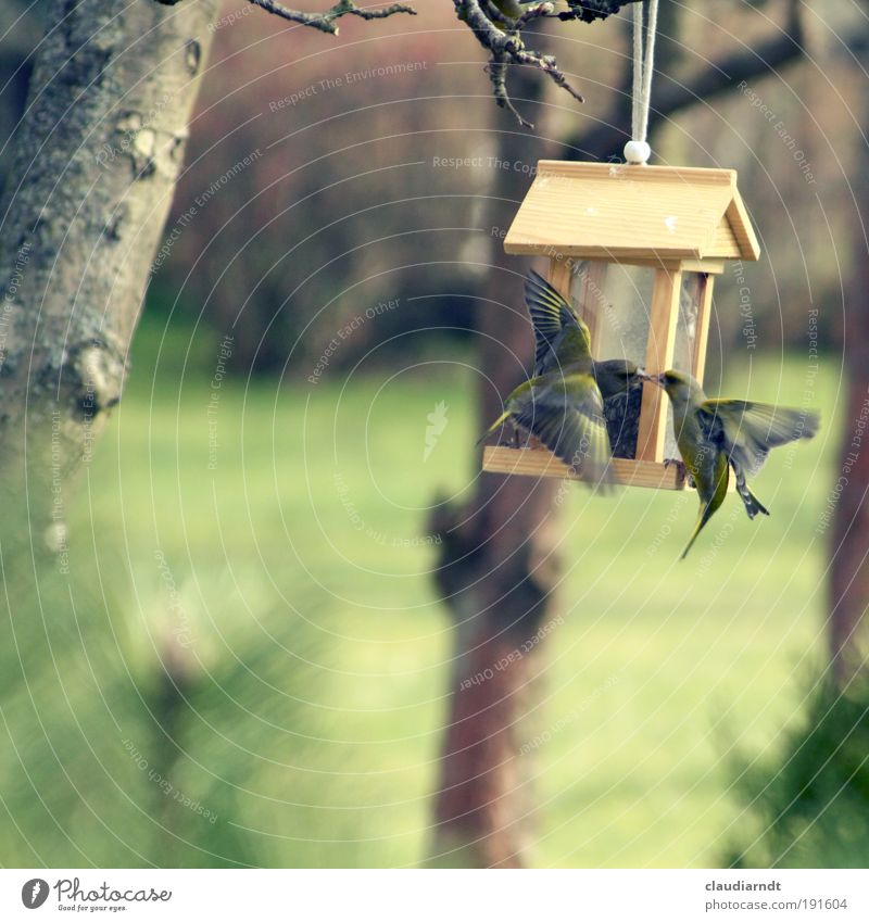 spring fever Grain Nature Animal Spring Tree Garden Bird Finch 2 Pair of animals Movement Flying Feeding Fight Kissing Aggression Speed Emotions Spring fever