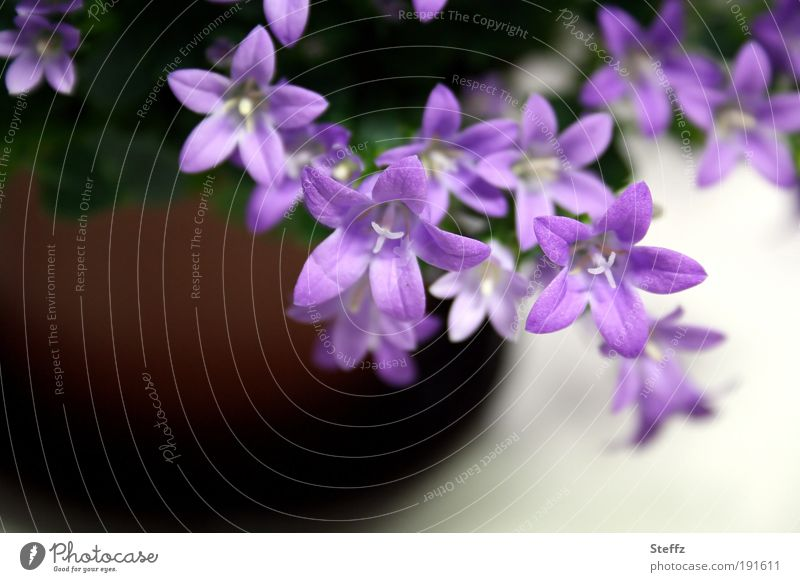 Nature Plant Colour Summer Flower Spring Blossom Decoration Esthetic Blossoming Cute Violet Near Delicate Anticipation Flowerpot