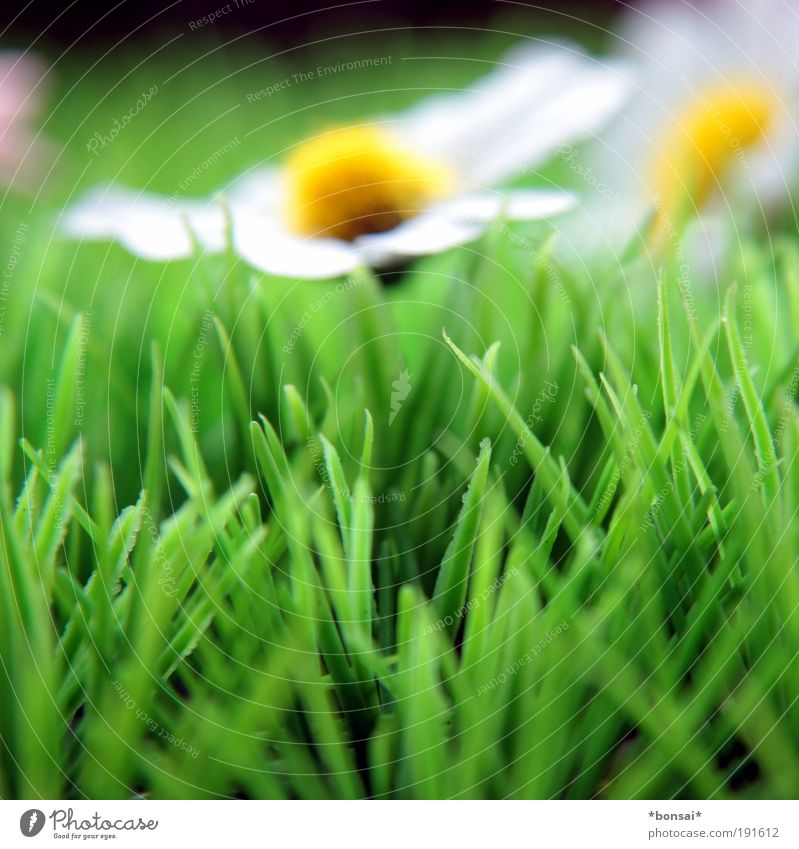 Nature White Flower Green Yellow Colour Grass Spring Power Fresh Growth Kitsch Decoration Natural Blossoming Fragrance