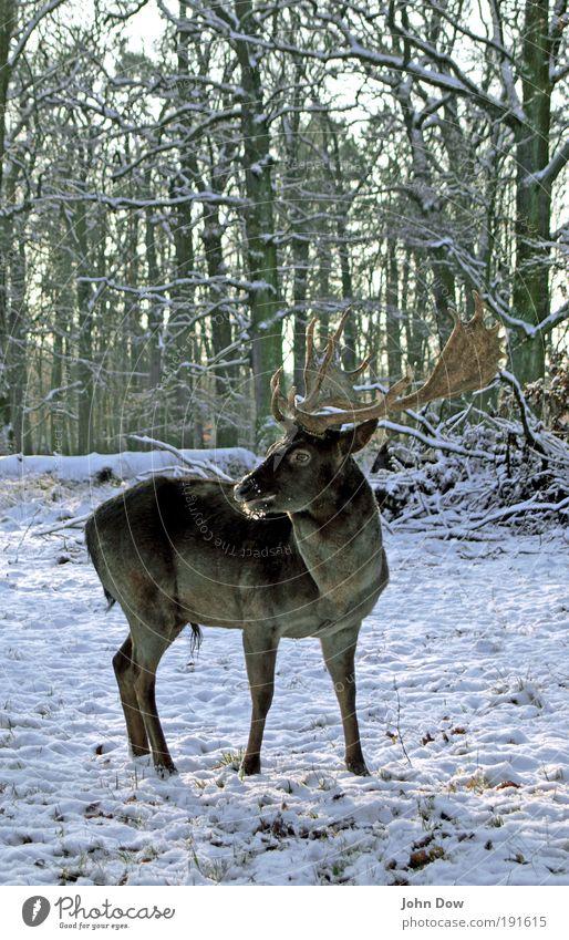 Tree Winter Animal Forest Snow Grass Park Observe Wild Zoo Wild animal Watchfulness Antlers Pride Deer Reindeer