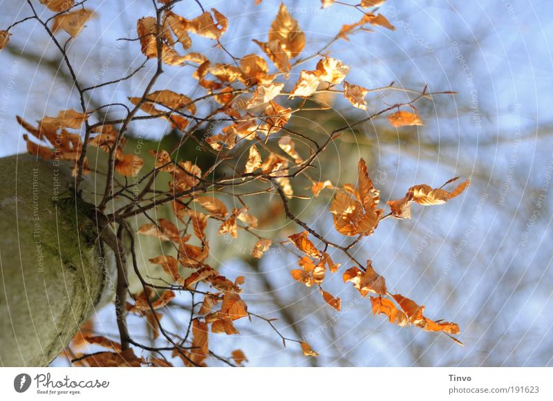 Views of a tree Nature Autumn Winter Tree Leaf Park To dry up Dry Twigs and branches Perspective Beech tree Beech leaf Colour photo Exterior shot Close-up