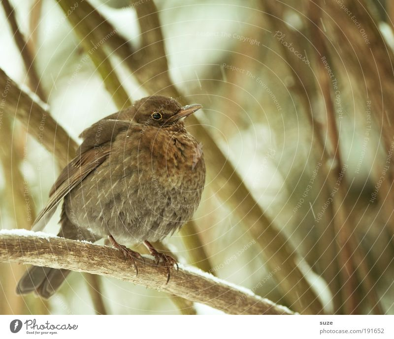 badminton Environment Nature Plant Animal Winter Bushes Wild animal Bird Blackbird Feather 1 Sit Wait Esthetic Exceptional Cold Small Natural Cute Brown