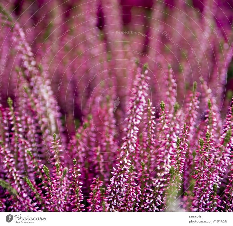 Pink heath Mountain heather Seasons Holiday season background plants Verdant Biology Ecological Nature stem Flower perennial purple pink detail blooms flora