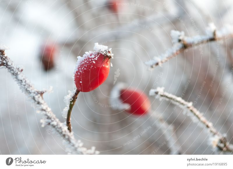 frosty fruit II Beverage Tea Environment Nature Plant Elements Water Winter Climate Climate change Weather Ice Frost Snow Bushes Agricultural crop Wild plant