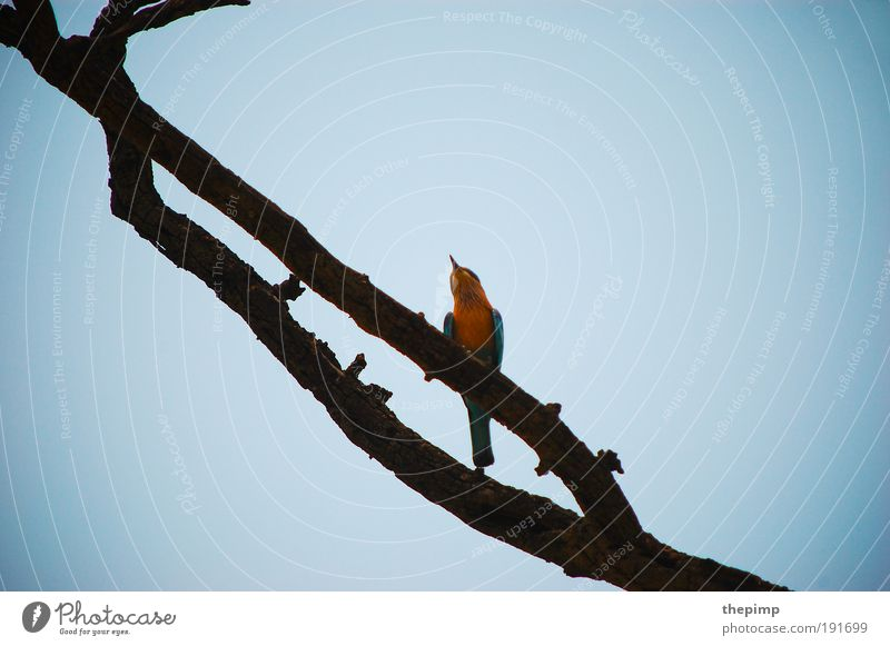 Blue Vacation & Travel Animal Yellow Far-off places Freedom Wood Bird Asia India Cloudless sky