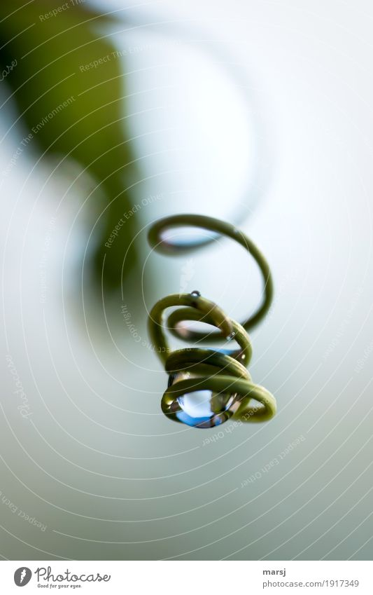 Well hung, this drop of water Life Harmonious Contentment Nature Drops of water Plant shoot tendril Tendril Spiral Rotate Hang Thin Authentic Simple Glittering