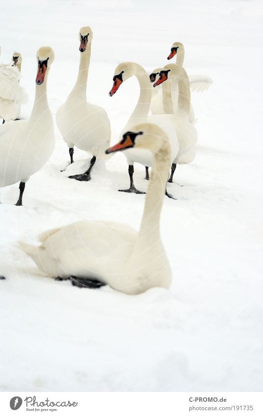 Snow Relaxation Ice Sit Frost Group of animals Wing Animal Appetite Wanderlust Swan Light Herd Flock Purity