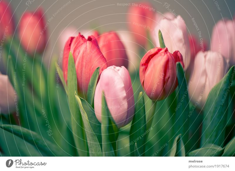 Tulip bouquet pink_red Valentine's Day Mother's Day Birthday Spring Plant Flower Leaf Blossom Agricultural crop bouquet of tulips Tulip blossom