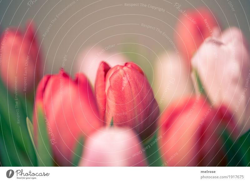Tulip bouquet pink_red II Spring Plant Flower Blossom Wild plant Bouquet spring bouquet Tulip blossom Bulb flowers Spring flowering plant Leaf Calyx Multiple