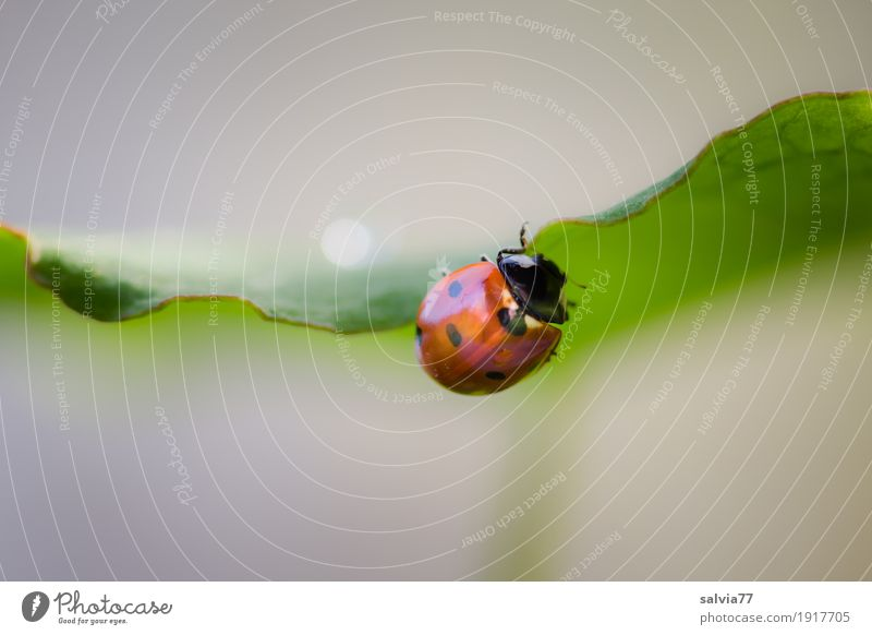 tightrope walk Nature Plant Animal Spring Summer Leaf Garden Beetle Ladybird Seven-spot ladybird Insect 1 Crawl Gray Green Red Spring fever Happy Ease Optimism