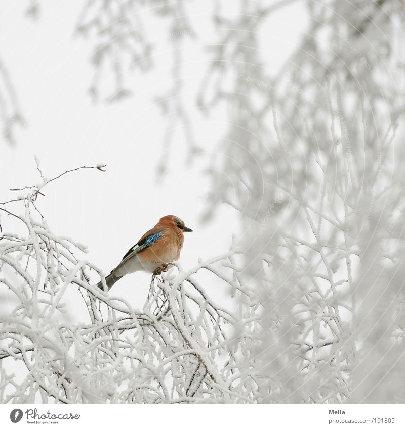 Badly camouflaged Environment Nature Plant Animal Winter Climate Climate change Weather Ice Frost Snow Tree Branch Wild animal Bird Jay 1 Crouch Sit Free Bright