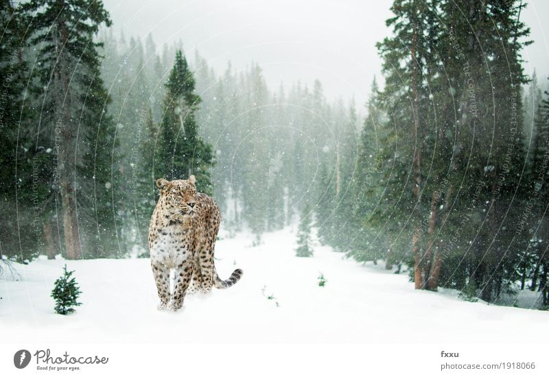 Persian leopard in the snow Exotic Adventure Winter Nature Landscape Climate Climate change Snow Snowfall Forest Animal Wild animal Cat Panther 1 Stand Free