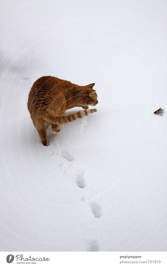 go astray Playing Hunting Winter Snow Environment Earth Ice Frost Garden Park Animal Cat 1 Observe Rotate To feed Feeding Looking Love of animals Watchfulness