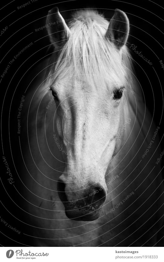 "White horse's black and white portrait. Farm animal Horse 1 Animal Nature ""horse,"" ""portrait,"" ""beautiful,"" Domestic ""farm,"" Head Nostrils Mane Pet"