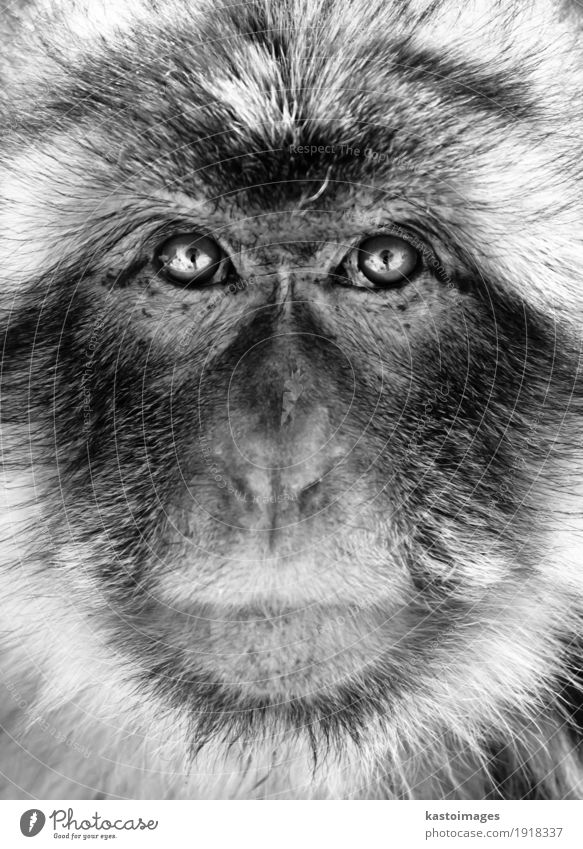 Black and white portrait of a Gibraltar Barbary Macaques monkey Face Nature Animal Virgin forest Fur coat Small Wild White Fear Apes background barbary close