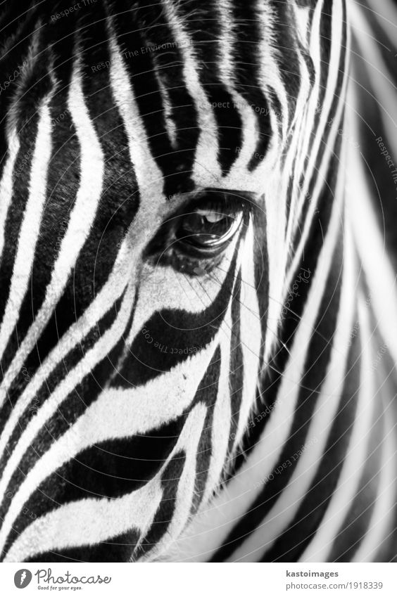 Portrait of a zebra. Black and white. Beautiful White Animal Face Small Bright Wild Body Wild animal Skin Stripe Africa Zoo Mammal Striped